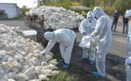 В Северо- Казахстанской области продолжает свирепствовать птичий грипп: падеж птицы дошел и до птицефабрик региона