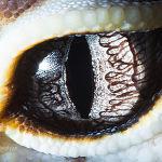 Эублефара тұқымдас кесірткенің көзі