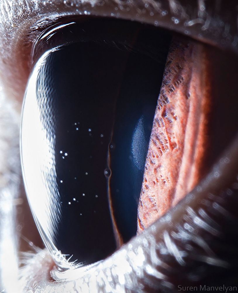 Британдық қысқа жүнді мысықтың көзі