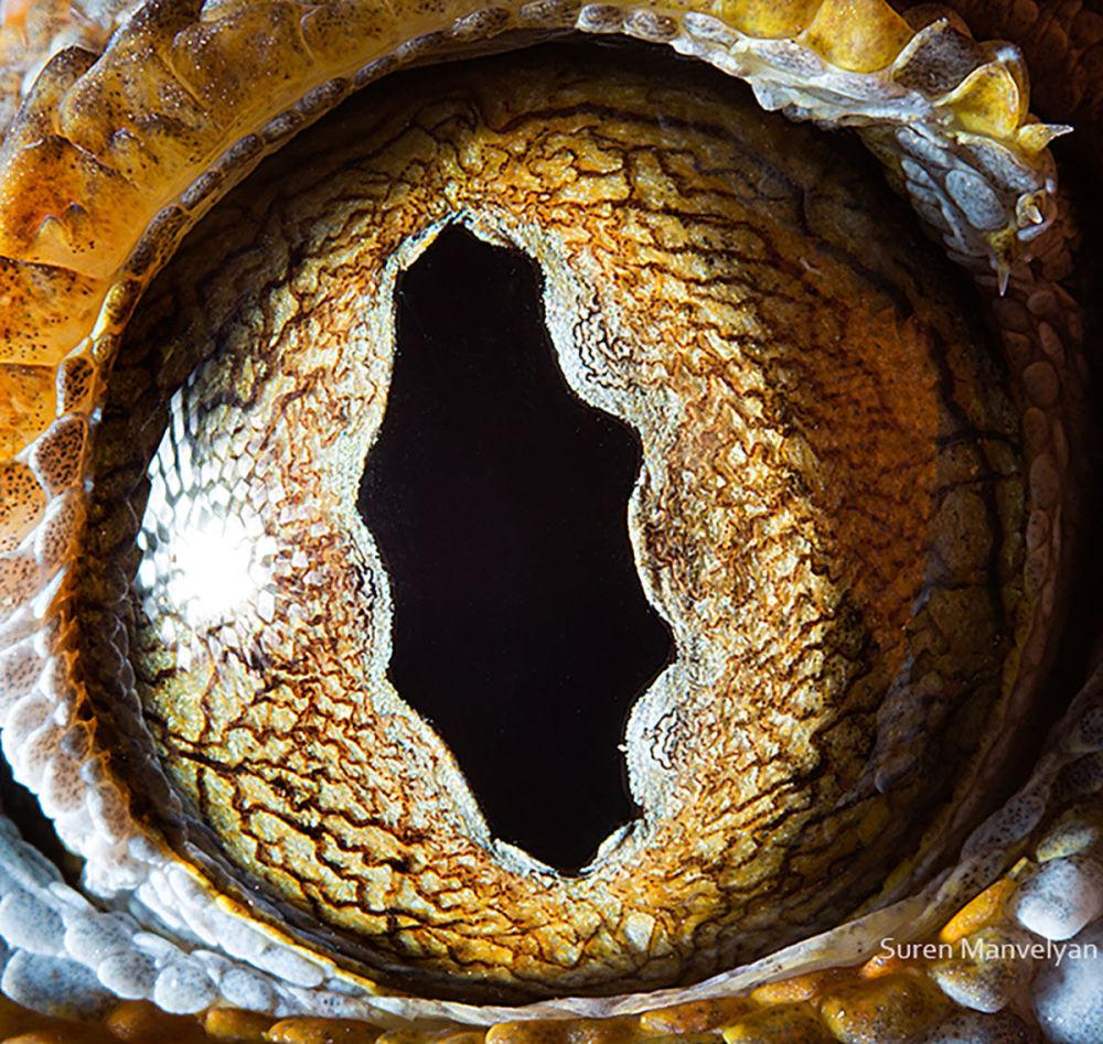 Өзгеше өрнек: гекко кесірткесінің көзі