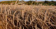 Пшеница, урожай