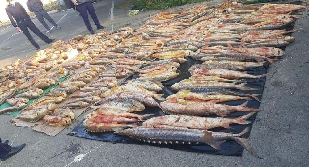 Рыбу осетровых пород изъяли в Атырауской области