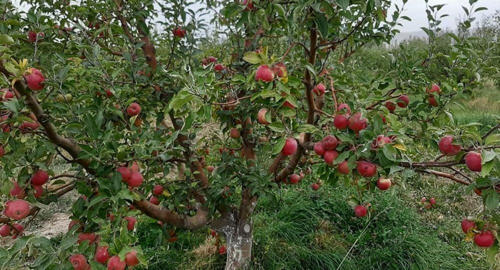 Яблоня, урожай, иллюстративное фото