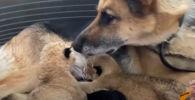 Подкидыши: немецкая овчарка усыновила двух львят - видео