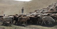 Ребенок присматривает за пасущимися овцами