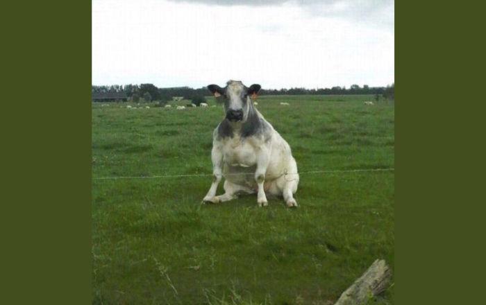 Почему все в интернете сейчас постят коров?