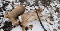Браконьеров с тушами косуль поймали в Костанайской области