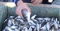 Кызылординская область стала первой в стране, разработавшей проект региональной программы развития рыбного хозяйства
