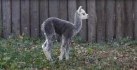 Детеныш альпаки родился в московском зоопарке, его назвали Витамин - видео