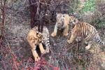 Любопытный тигренок застрял между деревьями - трогательное видео спасения
