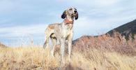 Собака национальной породы тазы
