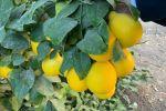В Туркестане откроются обучающие курсы по навыкам выращивания лимонов