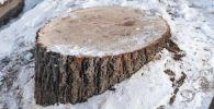 Деревья вырубили возле Sulpak в Алматы