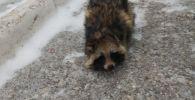 Запутавшуюся в проволоке енотовидную собаку нашли павлодарцы