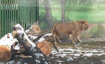 Новый вольер для льва Симбы