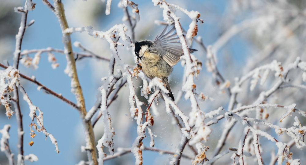 Синица в заиндевелых от мороза деревьев