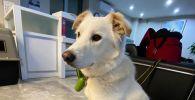 Собака Lucky уезжает в США