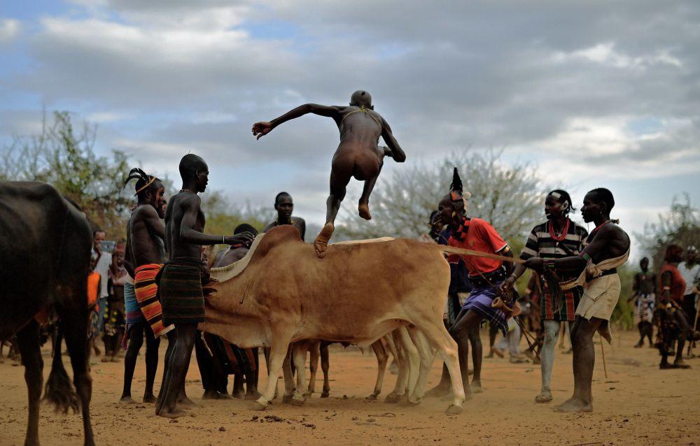 Эфиопияның оңтүстік бөлігінде хамар тайпасынан шыққан ер адам өгіз үстінен секіру салтанатына қатысып жатыр