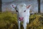 Аулиекольская мясная порода коров