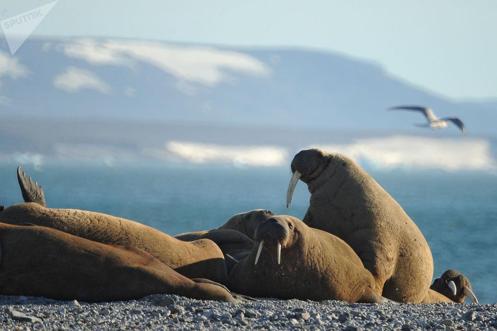 Орыс Арктикасы ұлттық паркіндегі морждар