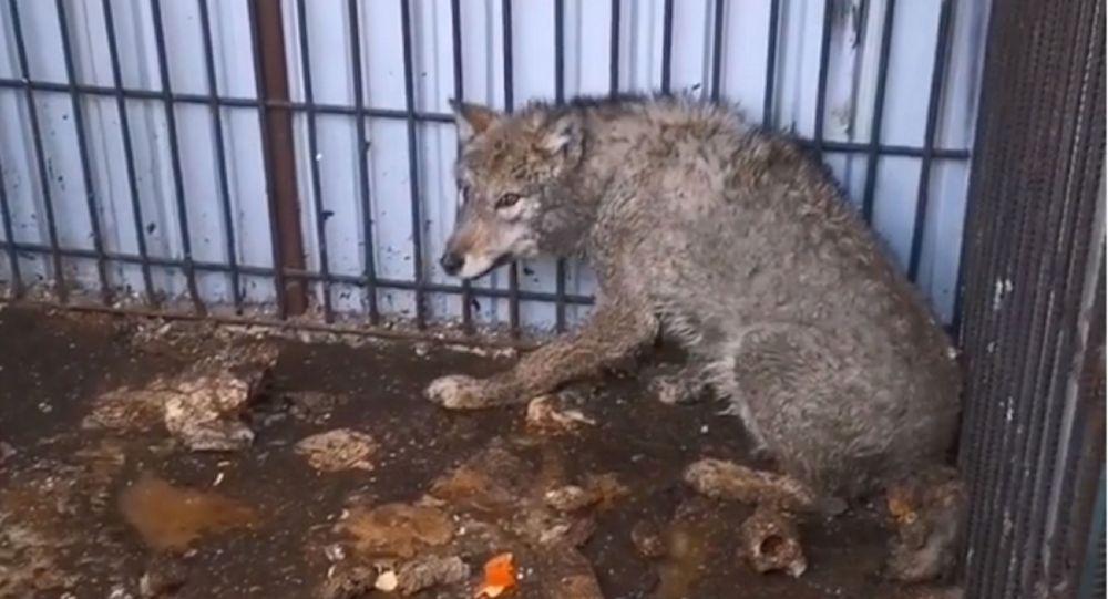 Волк в клетке