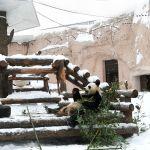 Үлкен панда