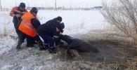 Спасатели вытащили лошадь, провалившуюся под лед