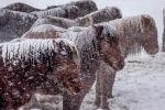 Лошади под снегом
