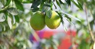Растущие в Ботаническом саду апельсины намного вкуснее магазинных, говорят местные сотрудники
