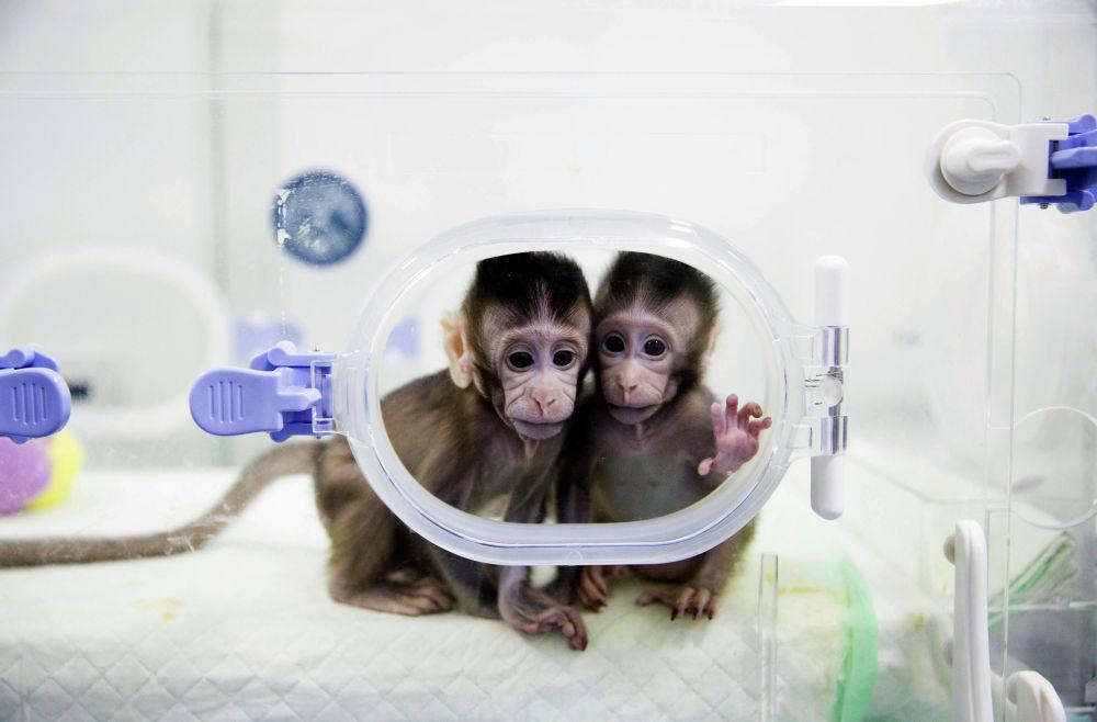 2018 жылы Қытай ғылым академиясы приматтарды зерттеу зертханасында клондалған маймылдарды шығарды