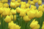Десятки сортов голландских тюльпанов выращивает в теплице житель Алматинской области - видео