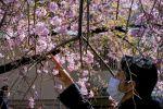 Токиодағы Уэно саябағындағы гүлдеген шие ағаштары