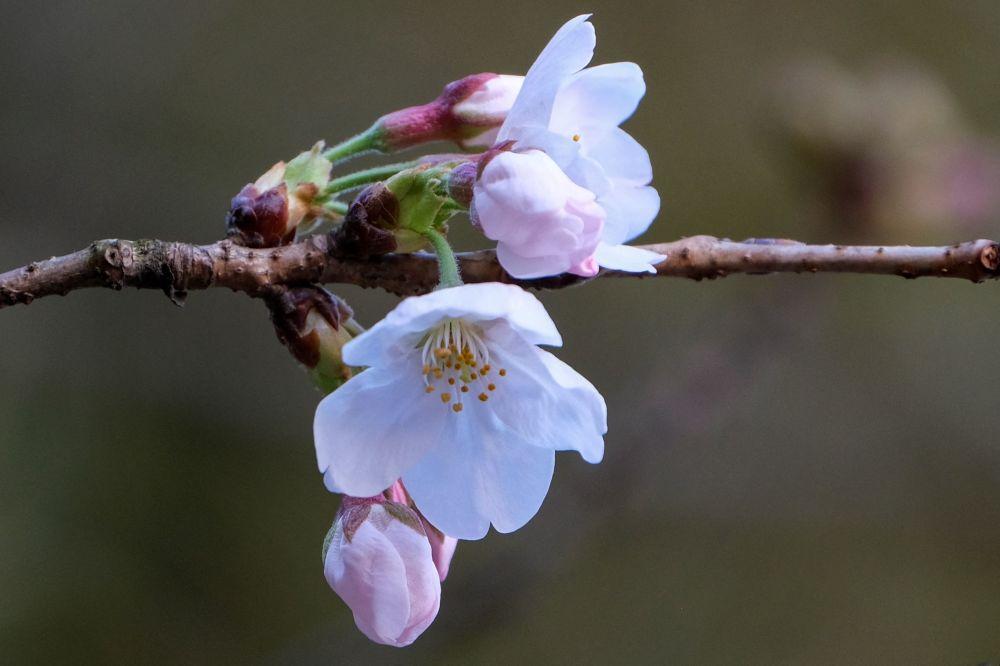 Токиодағы шие ағашының гүлдеуі 22 наурызда шарықтау шегіне жетіп, ай соңына дейін созылады.