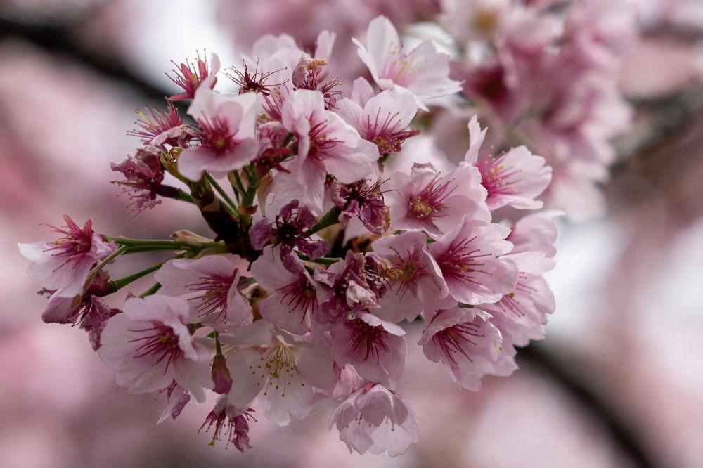 Цветущие сакуры в парке Уэно в Токио 12 марта 2021 года