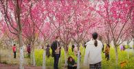 В Японии зацвела Сакура - видео