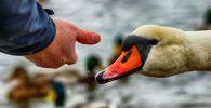 Человек кормит лебедя