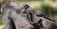 Дуйсбург хайнуататтар бағында горилла баласы анасының арқасында ұйықтап жатыр