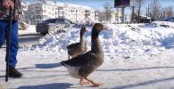 Два веселых гуся гуляют по улицам города - видео