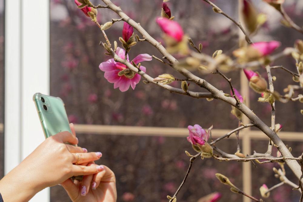 Весна в Алматы. Расцвели Магнолии