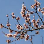 Весна в Алматы. Расцвели яблони