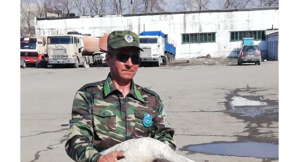 Лебедя-шипуна спасли в Павлодарской области