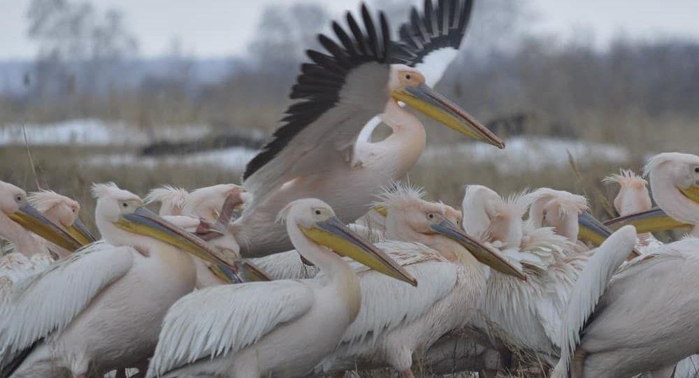 Розовые пеликаны в СКО