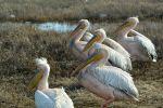 Розовые пеликаны появились в селе Смирново Северо-Казахстанской области