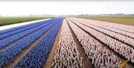 Миллионы цветов распустились в Нидерландах - видео