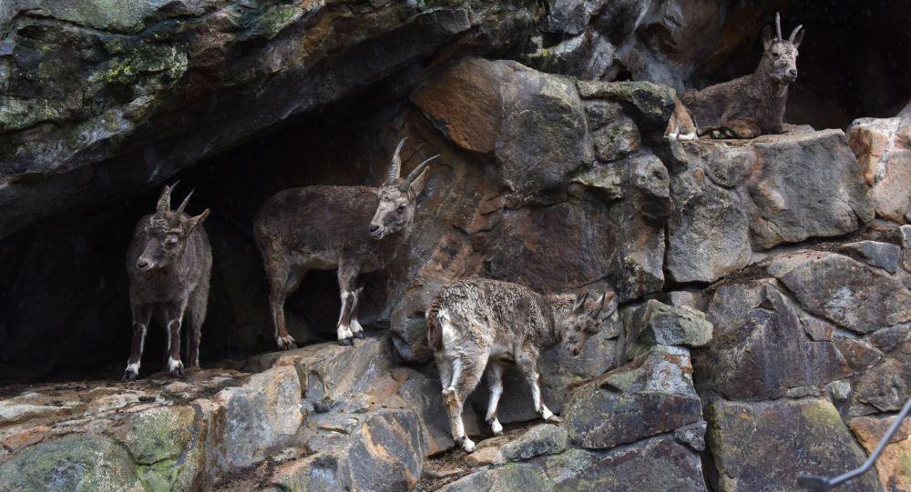 Сибирский горный козел, архивное фото
