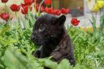 Новорожденного котенка черного ягуара показали в Алматинском зоопарке - видео