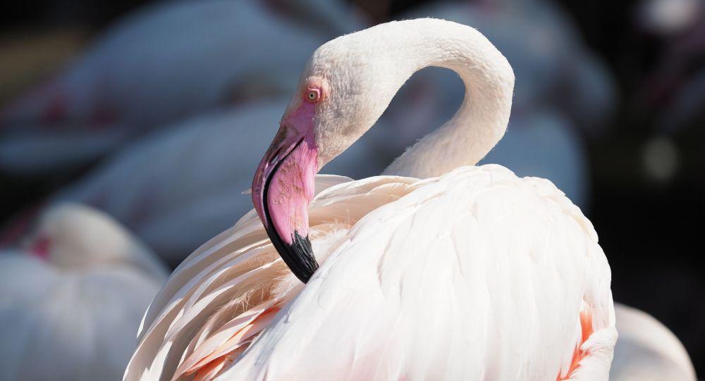 Розовый фламинго, иллюстративное фото