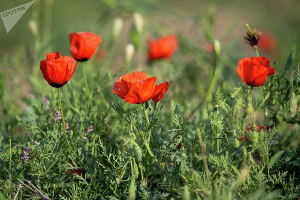 Цветущие маки близ Алматы