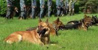 Основные породы собак кинологического центра немецкие, восточно-европейские, бельгийские (малинуа) овчарки, лабрадоры-ретриверы и русские спаниели