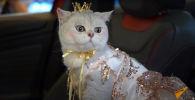 Кошка зарабатывает до 1500 тысяч долларов за рекламу машин - видео